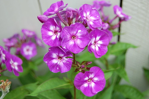 Purple Phlox