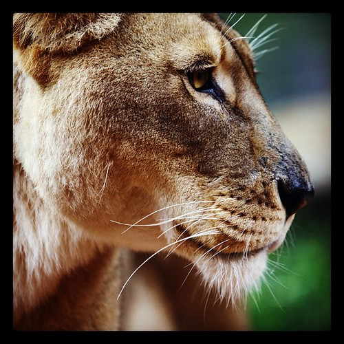 Lioness at Taronga Zoo in Sydney