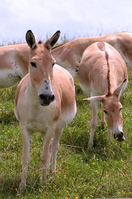 Persian Onager, Looking Annoyed