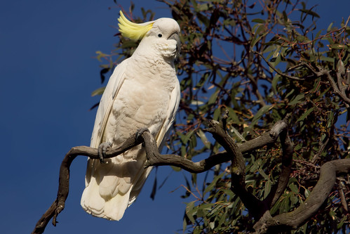 Sulphur Crested Cockatoo 2012-07-14 (_MG_0931)