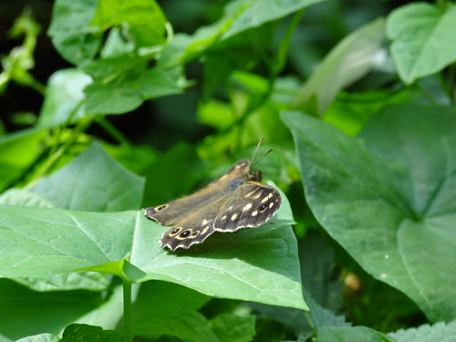 Speckled Wood Butterfly (Pararge aegeria) by tomp77