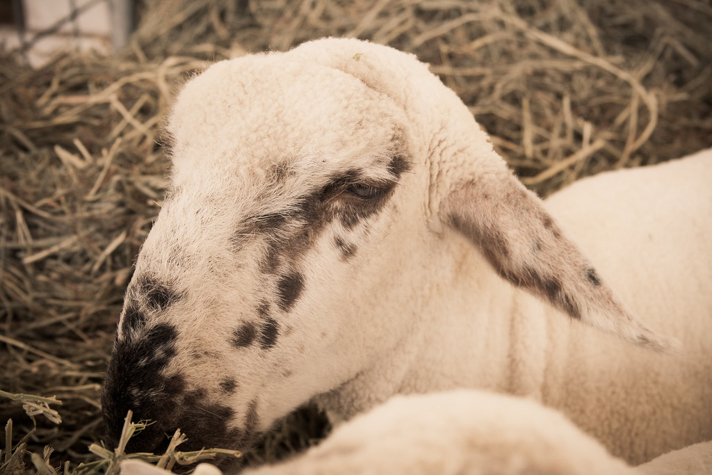 Y so sheepish?