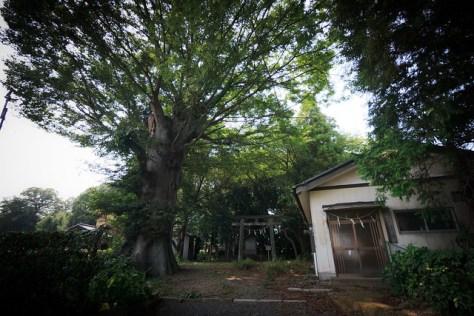 #37 The Giant Zelkova of Atago Shrine