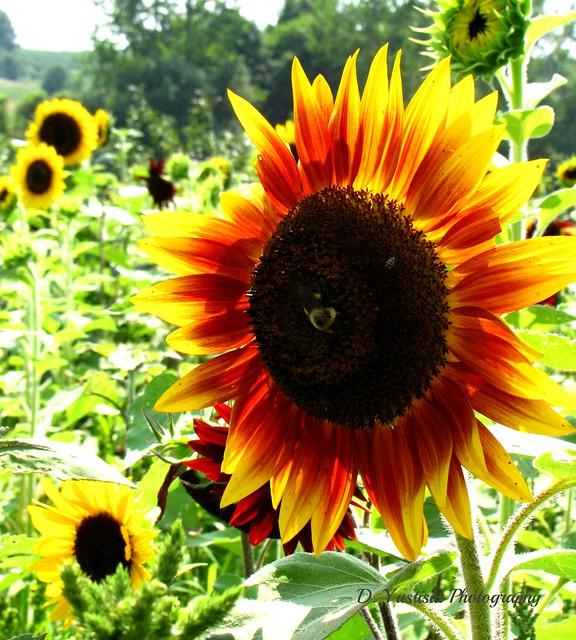 Bi-color Sunflower