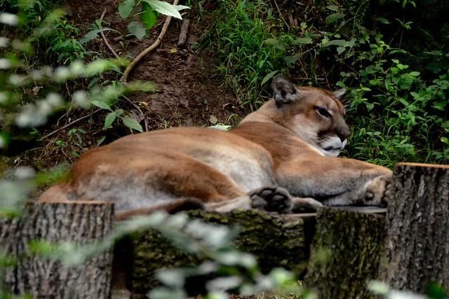 Nashville Cougar