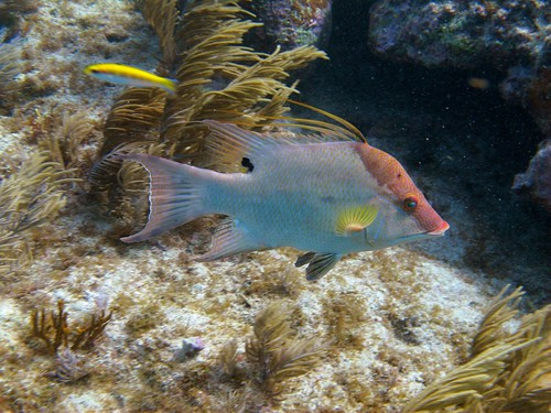 Adult Hogfish (Lachnolaimus maximus)