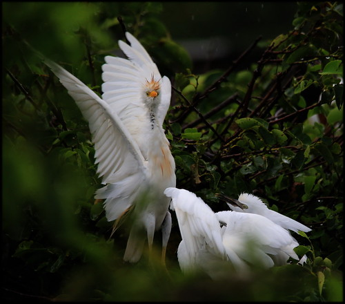 Cattle Egret Ballet