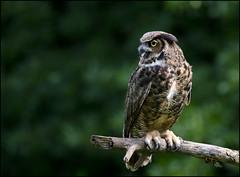 Great Horned Owl 9