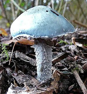 Stropharia caerulea Blue Roundhead