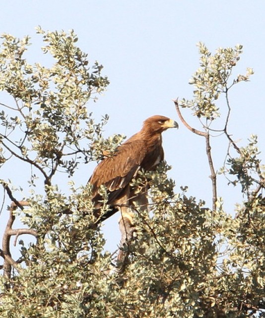 2012_07_10 CdC - Spanish Imperial Eagle - juvenile (Aquila adalberti) 07