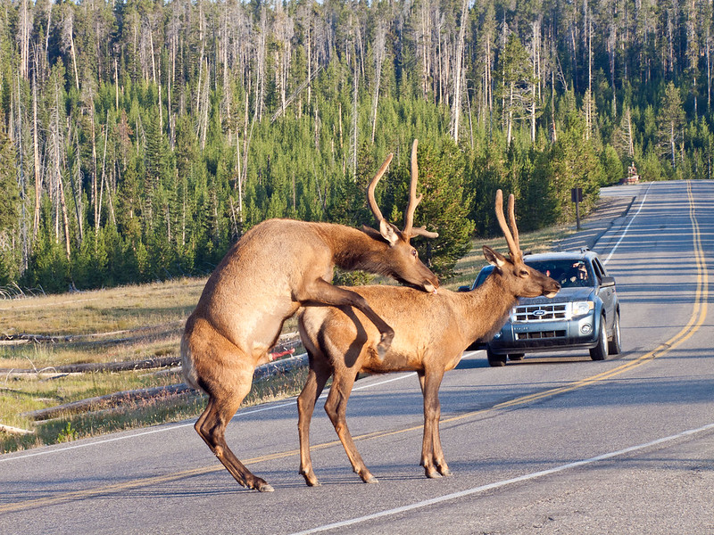 Two Elk mating in the middle of the road, Yellowstone National Park