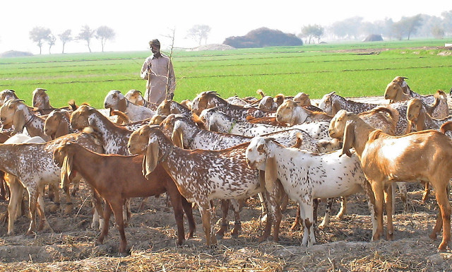 Makhi Cheeni goats