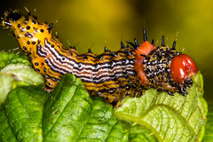 Red-Humped Caterpillar Moth - Schizura concinna