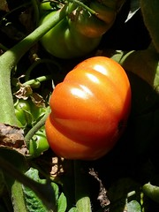 First Red Tomato
