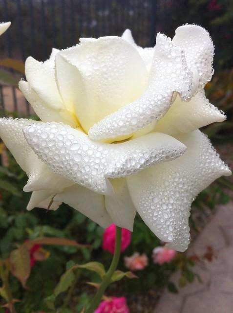 white rose bubbles