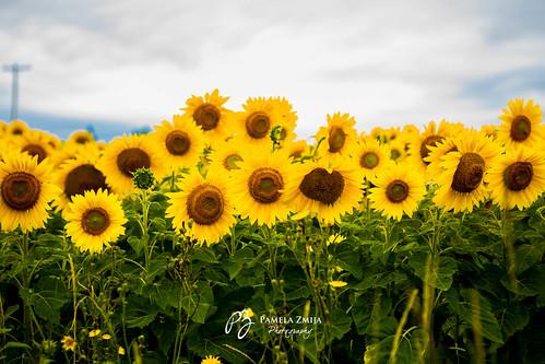20120812-328C3958-Sunflowers-WM by {Pamela Zmija Photography}