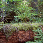 Downed Redwood with Ferns and Moss