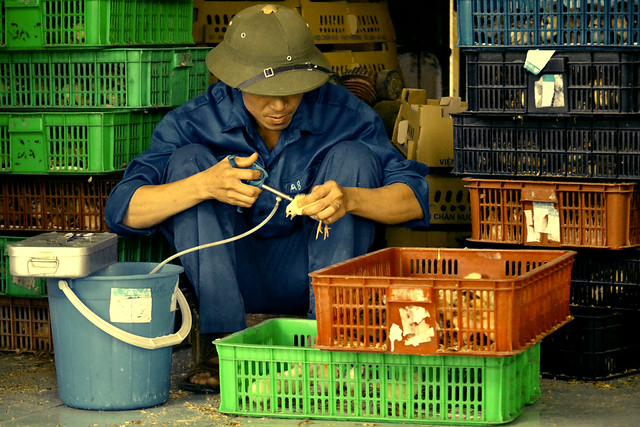 Vaccinating chicks in Vietnam