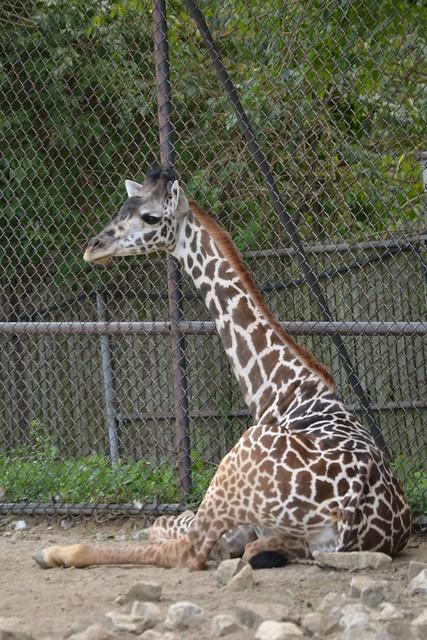 Sitting Masai Giraffe
