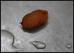 Sweet Goya seed