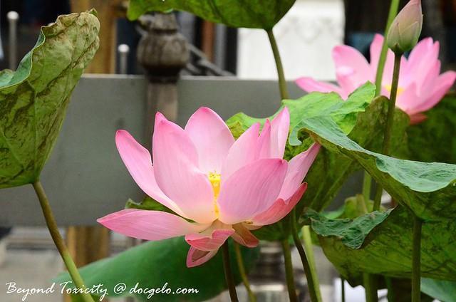 lotus flower # 1 grand palace, bangkok
