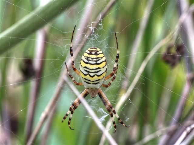 Wespenspinne_groß