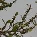 Trees in Nigeria - IMG_2341_CR2_v1