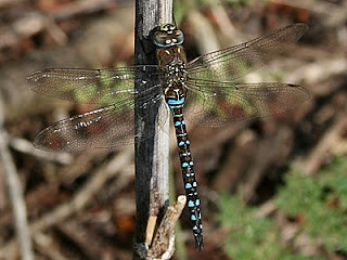 Migrant Hawker, Tophill Low NR, East Yorks Sept 2011