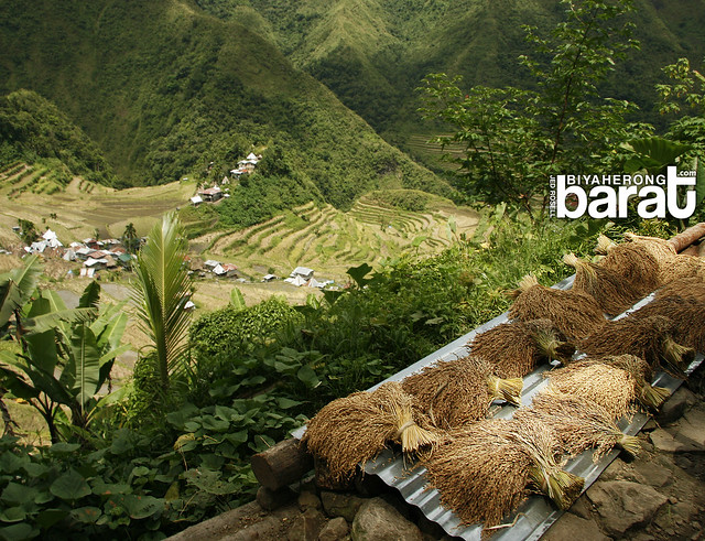 harvested rice in ifugao batad terraces