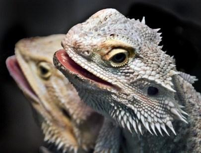 bearded dragons head