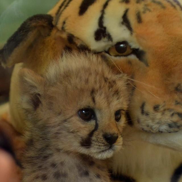 Savanna and the Plush Tiger