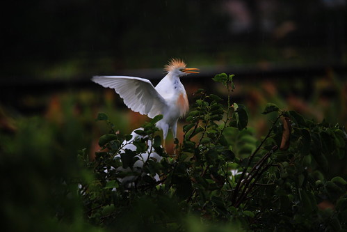 Proud Cattle Egret