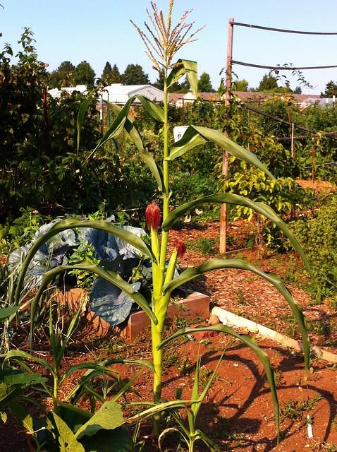 Lone corn