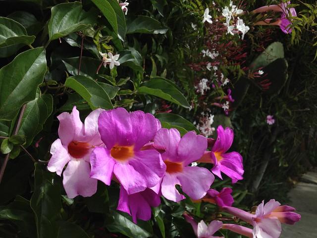 Royal trumpet vine (Distictis riversii, Bignoniaceae)