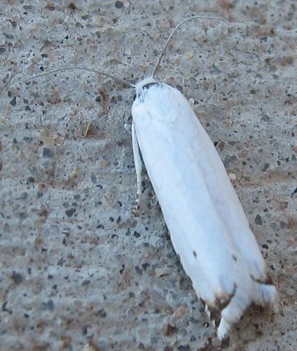 Hystrichophora vestaliana