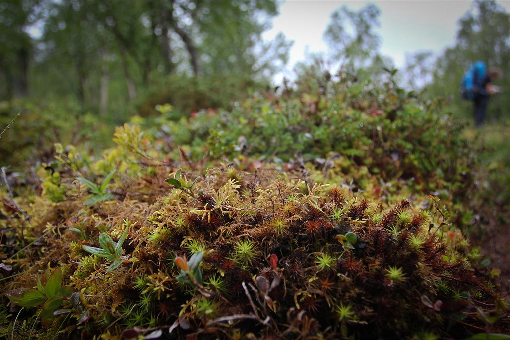Micro flora, Øvre Dividal National Park, Norway
