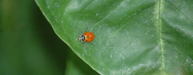 ladybug (1280x498)