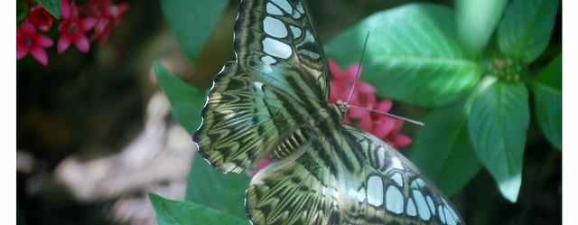 butterfly (1280x498)