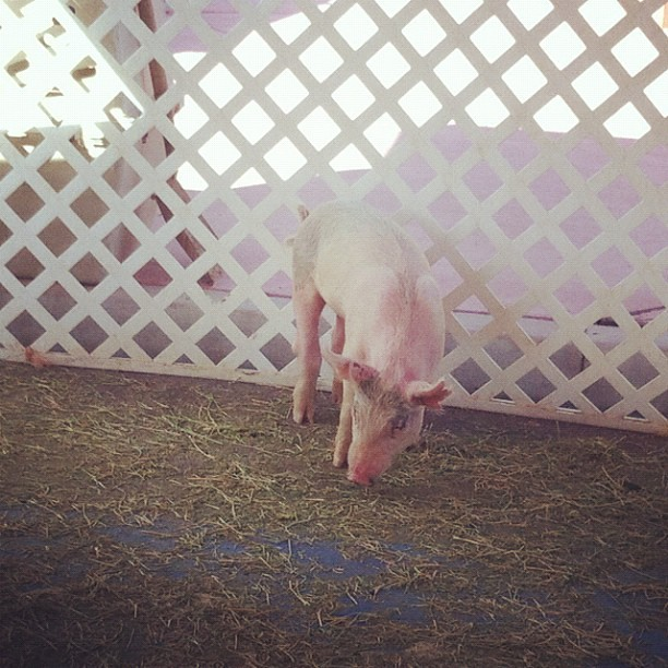 Sweet #pig at the Gilbert Farmer's Market