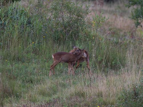 Roe deer-mating behaviour_3