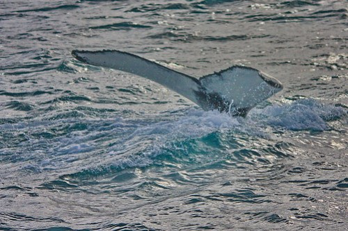 Humpback Tail while Whale Watching
