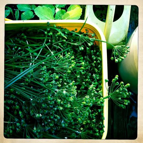 cutting garlic chive seed heads