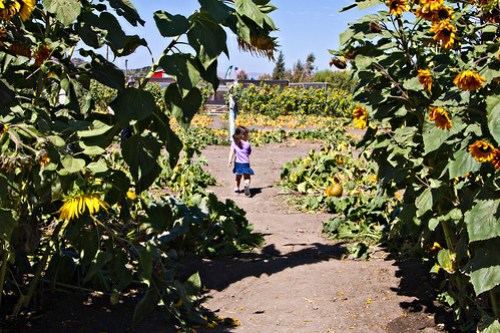 walking through the sunflowers to the sugar pumpkin patch