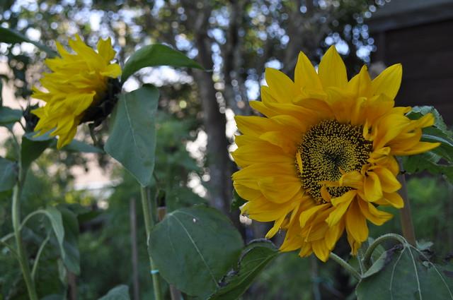 2012-10-06 Sunflower