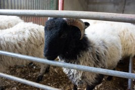 Kissane Sheep Farm
