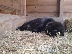 Black cat lying in hay