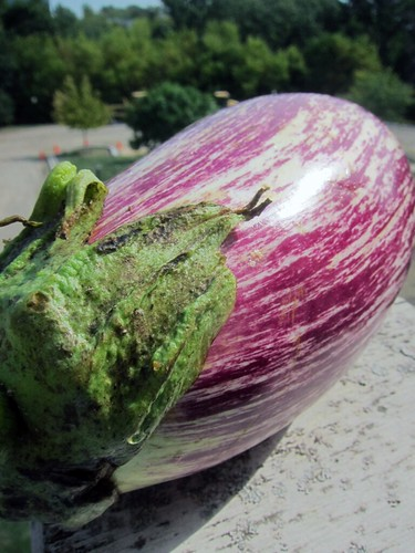 Large light purple eggplant with white striations.