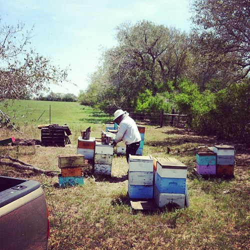 Applying Hopguard to the hives in Runge, Texas