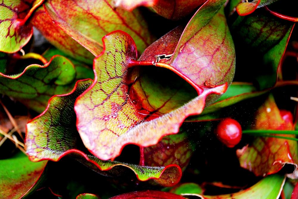 pitcherplant1
