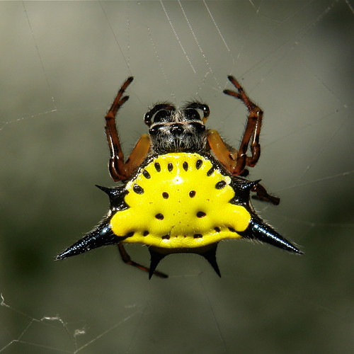 Hasselt's Spiny Orb-weaver (Gasteracantha hasselti)